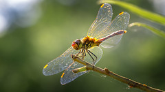 Sunset dragon... (.: mike | MKvip Beauty :.) Tags: sunset flower macro male green nature berg animal closeup backlight canon germany insect prime spring europe soft dragon dragonfly bokeh availablelight sony ngc sigma naturallight npc zen adapter handheld dreamy manual alpha makro wildflower sunsetlight libelle insekt backlighting mth shallowdof odonata anisoptera mnnlich mnnchen ruddydarter ef100mmf28macrousm mc11  sympetrumsanguineum primelens manualexposure extremebokeh smoothbokeh greenscene sonyalpha bokehlicious blutroteheidelibelle manualfocusing canonef100mm28macrousm afadapter beyondbokeh emount mkvip sonyalpha6000 ilce6000 sonyilce6000 eftoemount sony6000 6000 ofmller1764 sigmamc11 canonefe sigmamc11canonefe