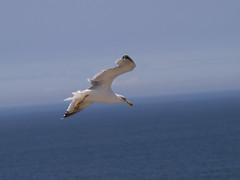 P9090536 (GreyFlash) Tags: sea cliff sun seagulls southwest portugal sunshine walking outside outdoors coast rocks walks wind seagull cliffs shore ponta iberianpeninsula sagres algrave rockycoastline otheriberian otherpeninsula otherrocky othercoastline