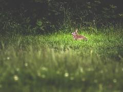 European rabbit (Marc Braner) Tags: rabbit bunny green nature grass animal european outdoor wildlife beaty oryctolagus cuniculus 500px ifttt