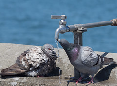 All Day I Hear the Noise of Waters (Ingrid Taylar) Tags: california water birds bath pigeons drinking olympus faucet urbanwildlife 50200mm zuiko thirsty columbalivia em1