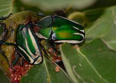 Emerald fruit chafer beetle (PaulE1959) Tags: green nature garden fig beetle emeraldfruitchaferbeetle