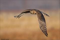 Northern Harrier (Daniel Cadieux) Tags: fly wings ottawa flight harrier northernharrier fenale