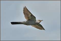 Cuckoo (image 1 of 2) (Full Moon Images) Tags: bird nature flying wildlife bcn flight reserve national trust fen cambridgeshire cuckoo woodwalton nnr greatfen
