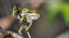 Acrobat 3 (Alex Verweij) Tags: canon groen small 100mm frog 5d groene treefrog awd greentreefrog kikker struik markiii boomkikker colseup bramenstruik alexverweij