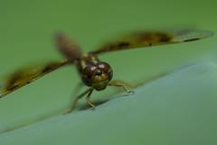 DragonFly_SAF0019 (sara97) Tags: nature insect outdoors dragonfly missouri saintlouis predator towergrovepark mosquitohawk flyinginsect urbanpark photobysaraannefinke copyright2016saraannefinke