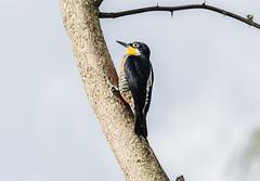 RSS_1583 (RS.Sena) Tags: brazil bird nature forest nikon natureza pssaro atlantic ave birdwatching mata atlntica d7000 sopaulobr