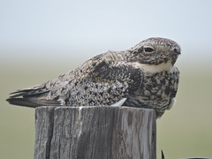 Common Nighthawk (Connor Langan) Tags: bird colorado commonnighthawk pawneenationalgrassland weldcounty