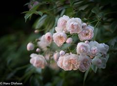 Roses - Princess Marie (Hans Olofsson) Tags: roses flower garden blommor sommar trädgård 2016 rosor skammelstorp