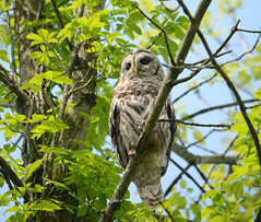 barred owl (bob schlake) Tags: owl barred