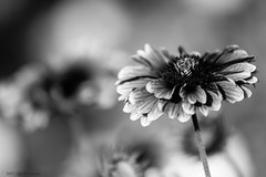 Flowers in B&W 2 (King Serrano) Tags: blackandwhite bw flower canon corniche saudi arabia 70200mm khobar f4l 650d flowerinbw