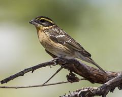 Black-headed Grosbeak (Female) (Eric Gofreed) Tags: arizona sedona richsyard