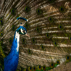 peacock (Matija Potocnik) Tags: bird feathers peacock plumage