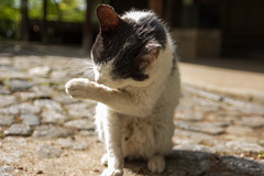 Shinnyodo (Christian Kaden) Tags: animal cat japan kansai katze kioto kyoto shinnyodo shinshogokurakuji tempel temple tier tiere お寺 しんしょうごくらくじ しんにょどう 京都 仏教 仏閣 動物 日本 猫 真如堂 真正極楽寺 関西