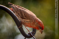 2013-05-21_MG_0014-106310-Edit (Rich[FL]) Tags: usa nature birds fl housefinch sandycreekairpark haemorhousmexicanus