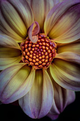 Amd then there was this (alan shapiro photography) Tags: flowers flower nature alan flowering fullcolor alanshapiro natureplus flowerwatcher naturewatcher awesomeblossoms flowerincolor ashapiro515 alanshapirophotography