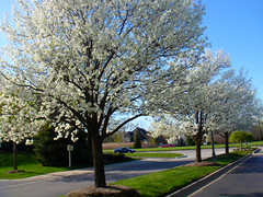 White blossoms (Larry the Biker) Tags: flowers trees white spring michigan blossoms may suburbs blooms vernal shelbytownship