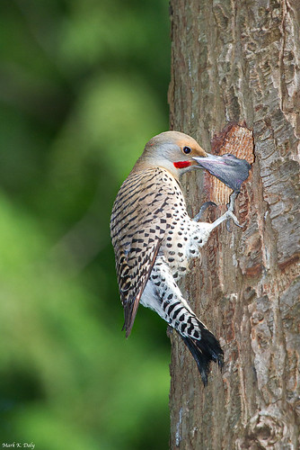 Northern Flicker and nestling