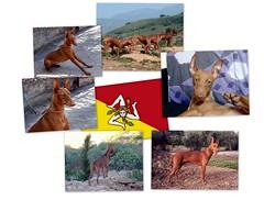 The Cirneco of Etna, an millenarian breed of sicilian dogs (Luigi Strano) Tags: italy dog chien dogs animals cane puppies europa europe italia hond perro hund sicily animali sicilia cani  smrgsbord rosalia cuccioli  cirneco cirnecodelletna sicilianhound siciliangreyhound lovelyflickr c