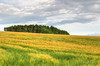 Fields Of Gold (Stephen Whittaker) Tags: nature barley pine countryside movement nikon wheat crops scotch hdr countryfile d5100 whitto27
