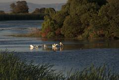 Pelicans Feeding (YT Blue) Tags: california light sunset duck pond pelican marincounty marsh whitepelican wetland lasgallinas