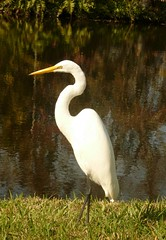 New Port Richey, Florida (Seventh Heaven Photography) Tags: new white bird nature water birds port river florida wildlife newport egret richey