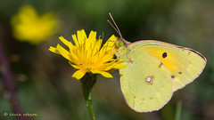 Clouded Yellow (KHR Images) Tags: macro nature butterfly insect nikon wildlife hampshire 300mm f4 newforest yellowbutterfly coliascroceus cloudedyellow d7100 kevinrobson khrimages immigrantspecies holmsleyridge
