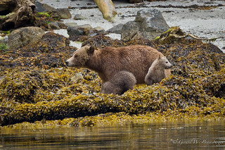 Grizzly Bear - Mother and Cubs
