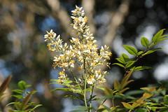 Nandina Domestica (Gillian Everett) Tags: flower japanese spring australia queensland domestica nandina heavenlybamboo japanesesacredbamboo