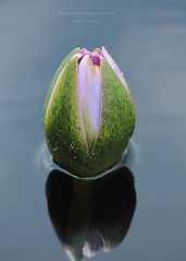 Water Lily Bud (MarjRemi) Tags: reflection pond lotus bud longwoodgardens canon100400mm canoneos60d