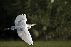 Garcilla Bueyera (Loren_VC) Tags: espaa naturaleza bird nature fly ave pajaro extremadura volar canoneos1100d objetivocanon55250isii