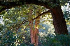 Portrait of Three Trees (Harry Lipson) Tags: trees light sun sunlight nature twins depthoffield multidimensional harrylipsoniii harrylipson harryshotscom harrylipson3 portraitofthreetrees visitharryshotscom iinviteyoutovisitmywebsiteharryshotscom theunsungphotographer theunsungphotographercom totalslackerphotographycom totalslackerphotography thephotographyofharrylipson