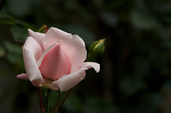 Fall Rose (Crux_VII) Tags: pink rose