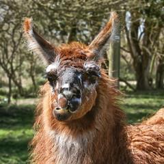 Looking for llamas (larigan.) Tags: animal teeth llama chewing eastsussex middlefarm larigan phamilton