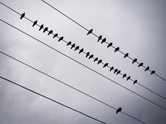 38/365 - Pigeons (alyserphoto) Tags: photo wire pigeons telephone olympus line 365 challenge 1442mm epl5