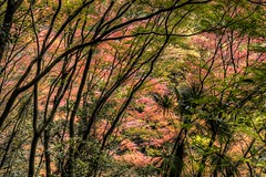 Burning Forest (akirat2011) Tags: autumn fall japan kobe  redleaves