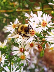 Bee love (marybethdodd15) Tags: flowers white black flower green fall up yellow clouds buzz fly wings close bees sting bee nectar pollen upclose share pollenate