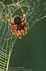 Red-femured Spotted Orbweaver (sjsimmons68) Tags: animals spiders insectsandspiders lakejesup redfemuredspottedorbweaver fllocations marlbedflatslakejesupca