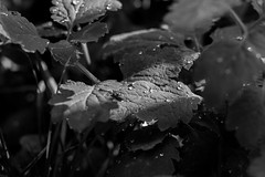 Light And Darkness (MarioGadingerPhotography) Tags: light shadow bw plants sun white plant black water rain canon dark photography eos 50mm leaf drops wasser ray darkness picture beam dslr 18 schwarz regen bilder kamera wassertropfen tropfen mdg objektiv weis spiegelreflex 600d spiegelreflexkamera mdgphotography