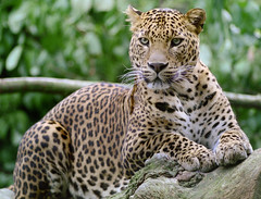 Leopard at Banham Zoo about 1999 Different pose
