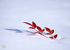 §  Bamboo and Snow  § (H. Fox) Tags: snow redleaves meltingsnow heavenlybamboo winter2014