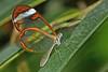 Transparent (Rene Mensen) Tags: orange white macro glass butterfly nikon wing micro transparent nikkor greta vlinder oto gretaoto glasswinged glasvleugel d5100