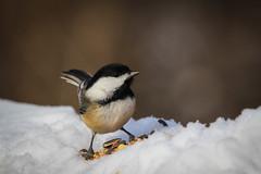 Chickadee At Cherry Hill Gate (hey its k) Tags: winter snow birds chickadee img1844 cherryhillrbg