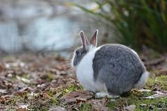 La natura  bella, perch  LIBERA (neftali89) Tags: parco rabbit nature italia conejo natura bergamo coniglio fiumediserio