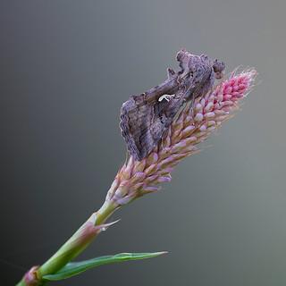 Autographa gamma (Silver-Y moth, gamma-uil)