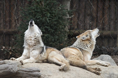 Sisters (Mark Dumont) Tags: animals mammal zoo wolf mark cincinnati mexican dumont howl explored
