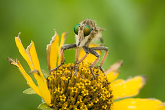 Robber Fly (jmeissen) Tags: nature ecology minnesota science prairie entomology greatplains thenatureconservancy bluestemprairiesna dailynaturetnc13