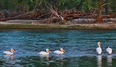 Bow River Pelicans (LostMyHeadache: Absolutely Free *) Tags: blue trees light red summer orange green pelicans nature water birds animals fauna canon reflections river eve