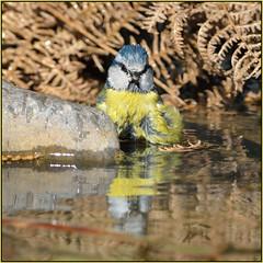 Blue Tit (image 3 of 3) (Full Moon Images) Tags: blue reflection bird nature forest pond bath tit farm wildlife bathing mayday washing thetford