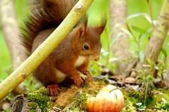 Samedi (Seix/Arige) (PierreG_09) Tags: squirrel jardin ardilla pyrnes pirineos scoiattolo cureuil faune arige sciurusvulgaris aujardin seix cureuilroux couserans eichhrnschen sciurid cureuildeurasie