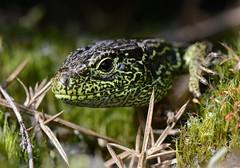 male sand lizard, Surrey (willjatkins) Tags: sand wildlife surrey lizard britishwildlife britishlizards ukreptilesandamphibians britishamphibiansandreptiles